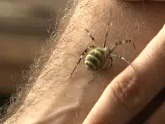 Křižák pruhovaný na ruce arachnologa