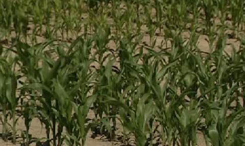 Rostoucí kukuřice