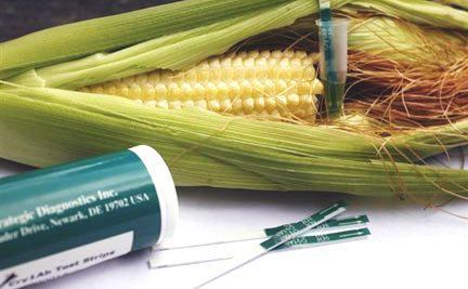 Geneticky upravená kukuřice