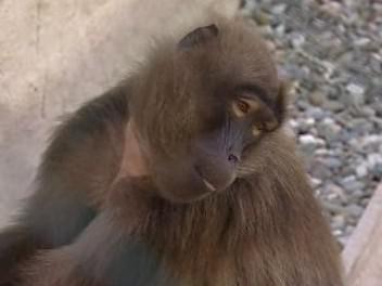 Zvířata v nové expozici zlínské zoo - Etiopie