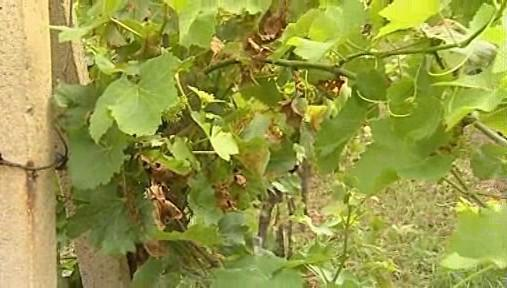 Vinaři nad letošní úrodou zapláčou