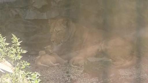 Hrdá maminka malých lvíčat