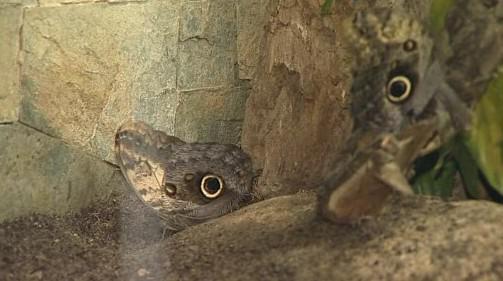 Caligo telamonius