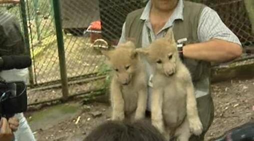 Vlčí mláďata z brněnské zoo