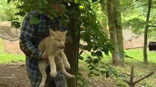Vlčí mládě z brněnské zoo