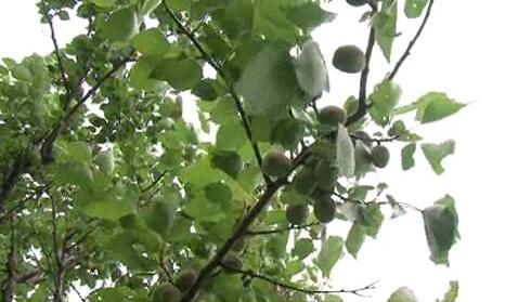 Pěstitelé meruněk hlásí nejhorší sezónu za posledních 10 let