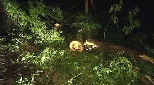 Spadlý strom po noční bouřce
