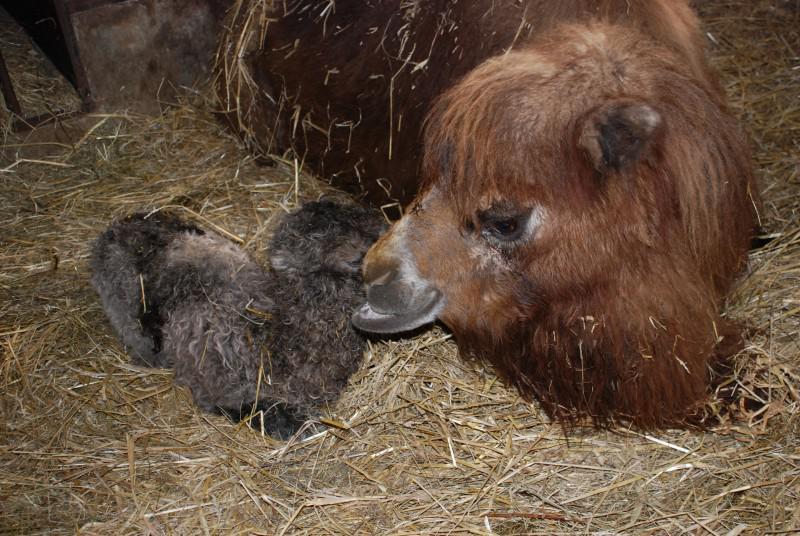 novorozené velbloudě s matkou