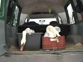 Labutě čekají na vypuštění