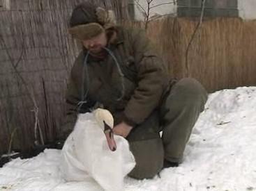 Odchytávání labutě