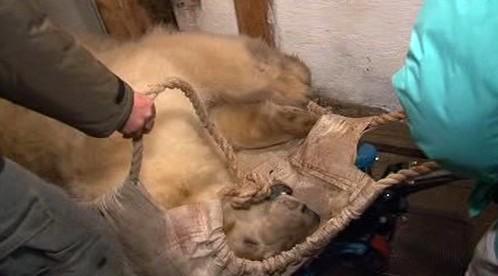 Přeprava uspaného medvěda