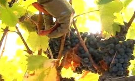 Vinaři sklízejí hrozny