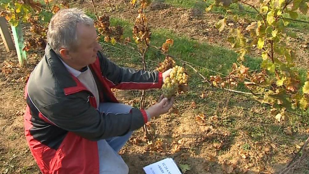 Šlechtění vína v Polešovicích