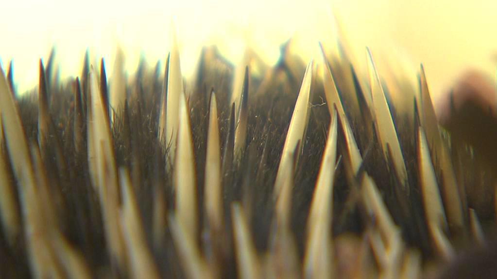 Bodliny ježury novoguinejské