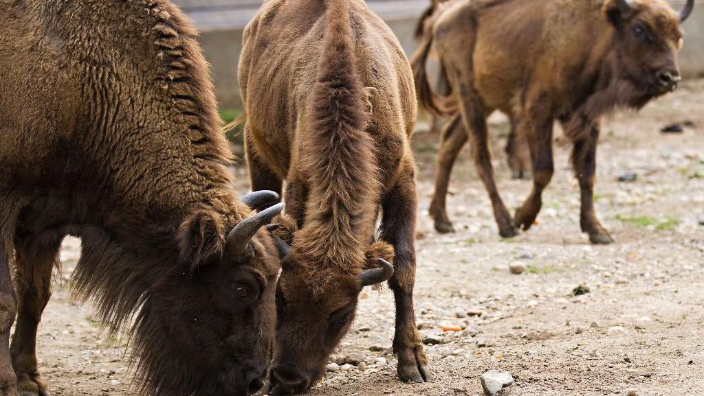 Zubři z pražské zoo