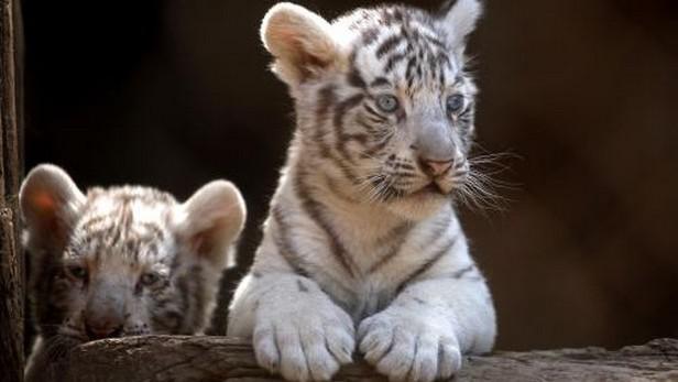 Mláďata bílého tygra