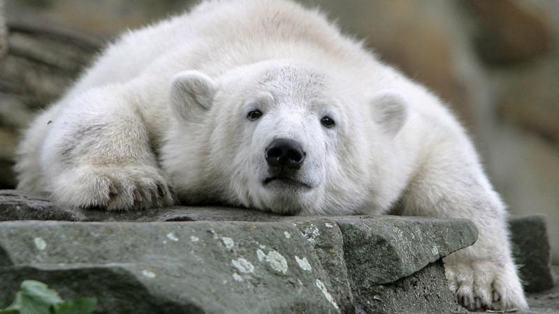 Medvěd Knut