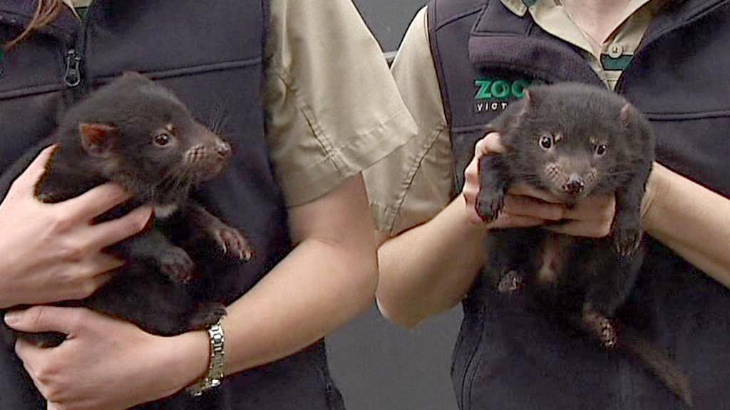 Mláďata tasmánskéoho čerta