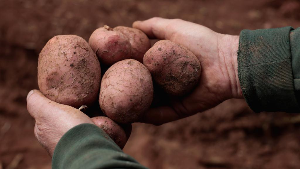 Sběr brambor