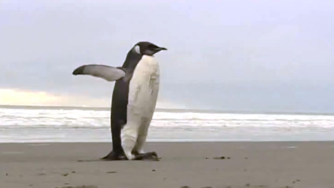 Tučňák na Novém Zélandu