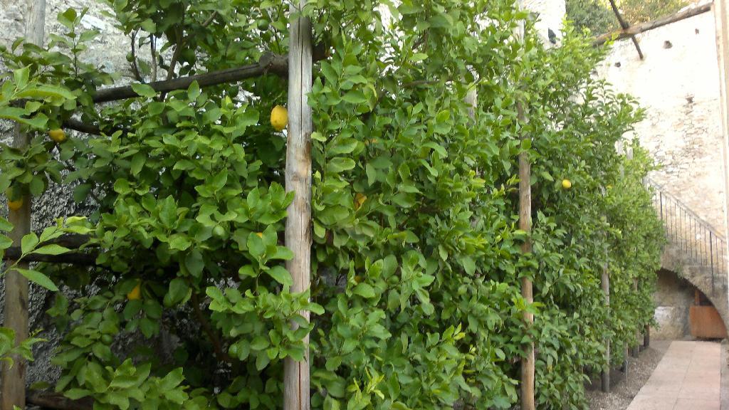 Pěstírna citrusů