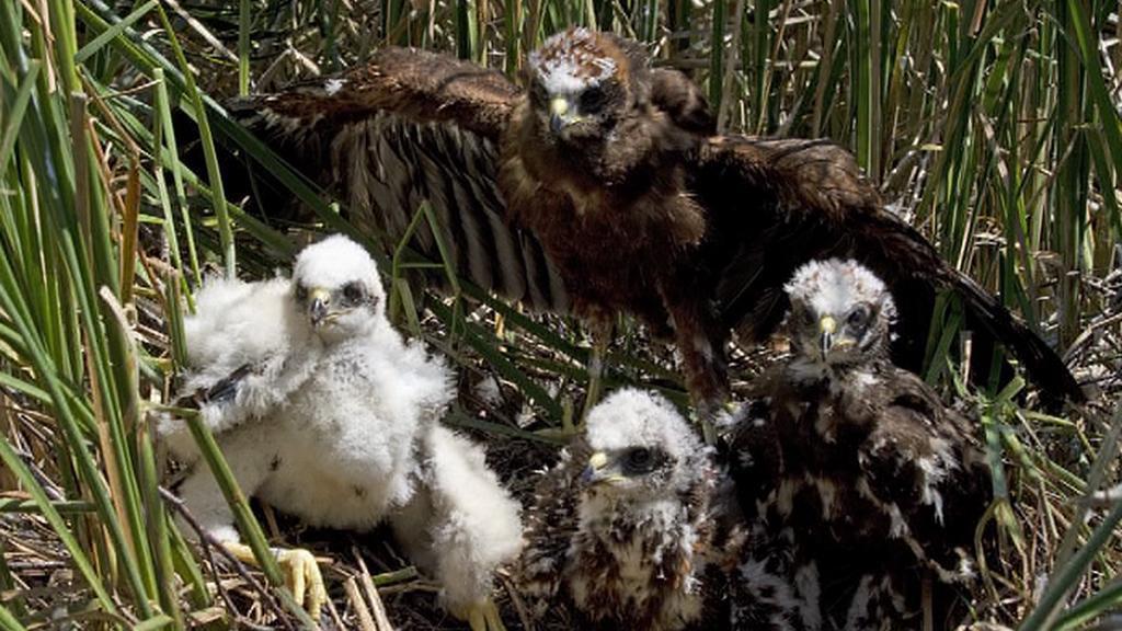 Ptáci hnízdící v rákosí