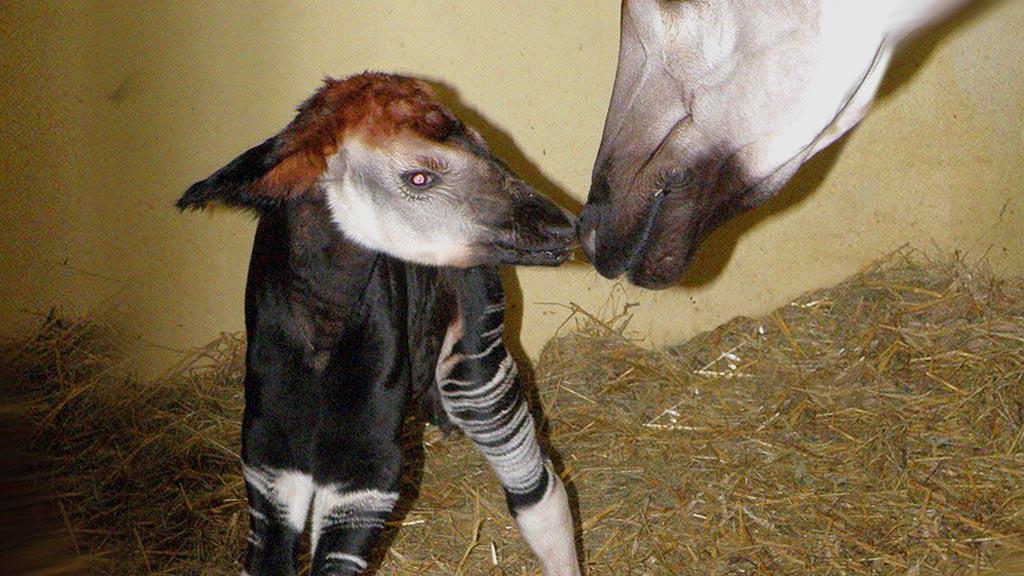 Čerstvě narozené mládě Okapi