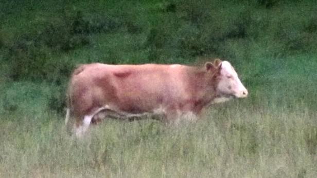 Německá kráva Yvonne na útěku