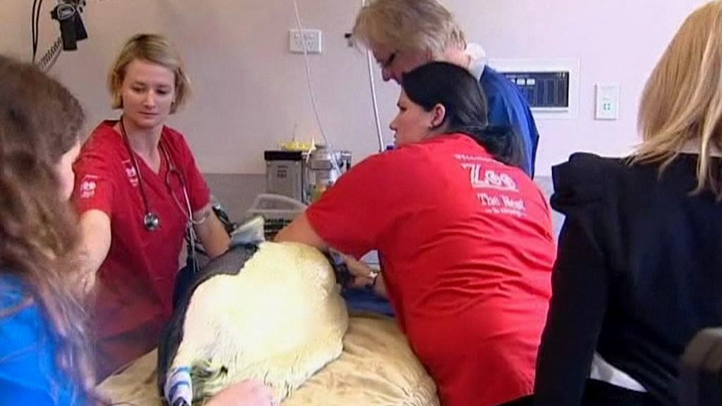 Tučňák na operačním stole