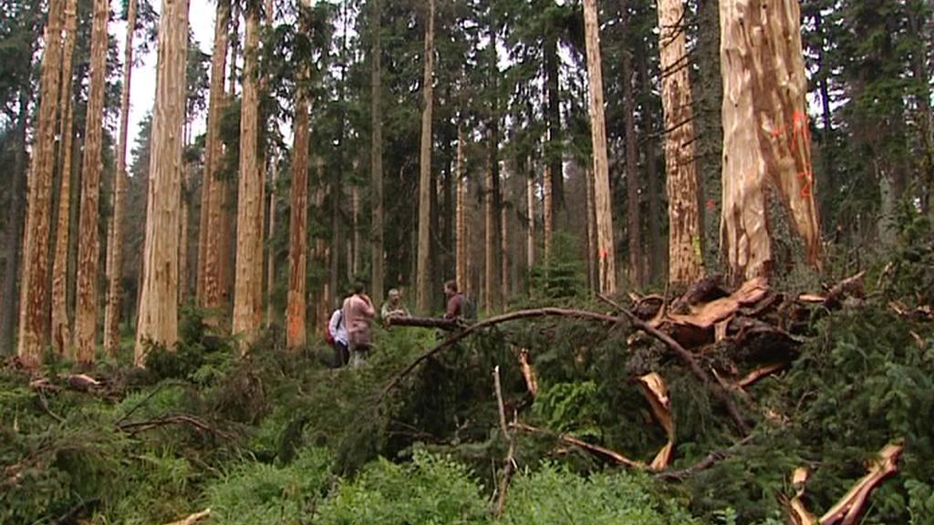 Odkorněný les