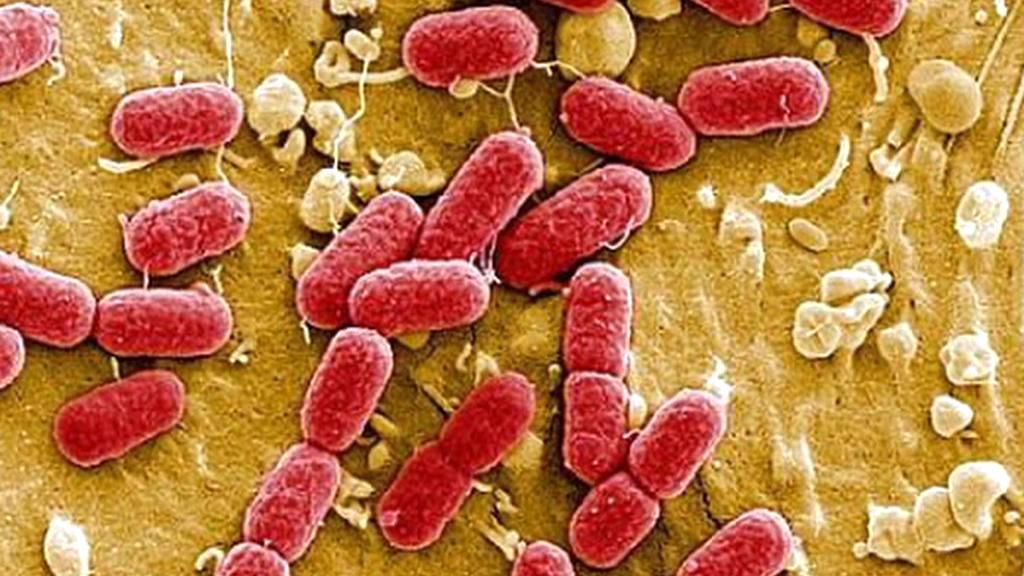 Bakterie E.coli