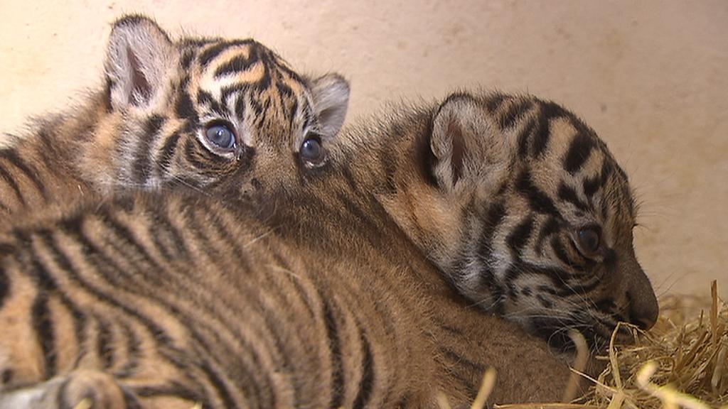 Mláďata tygra sumaterského
