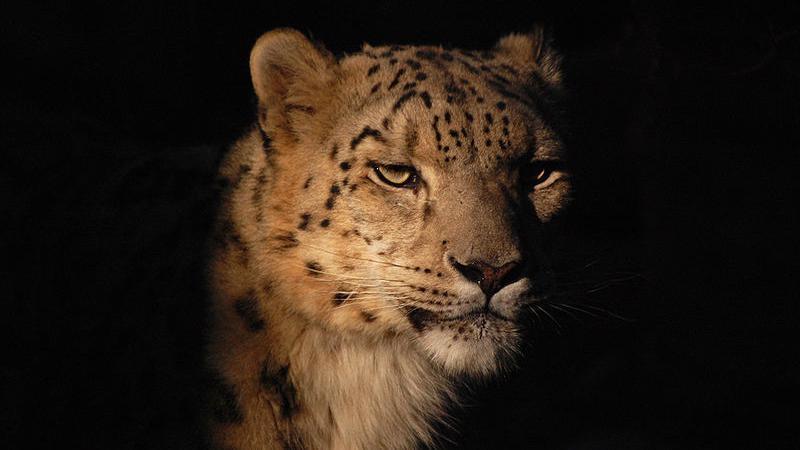 Sněžný levhart v torontské zoo