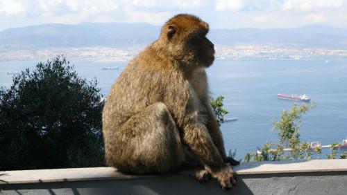 Gibraltarská opice