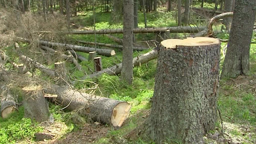 Vykácené suché stromy