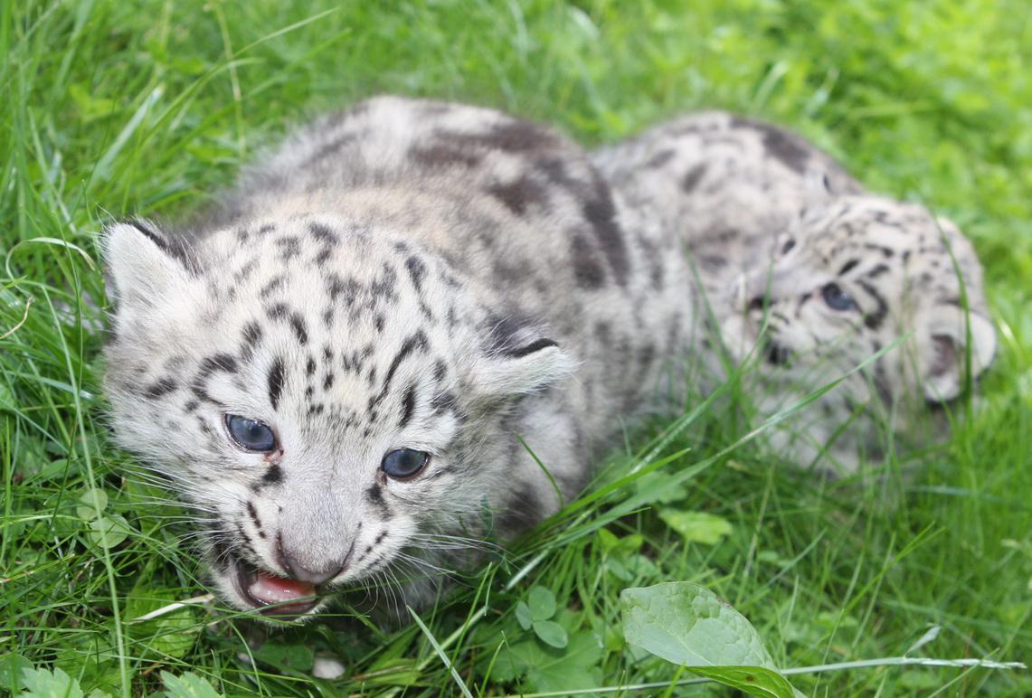 Levhartí mláďata z Jihlavy
