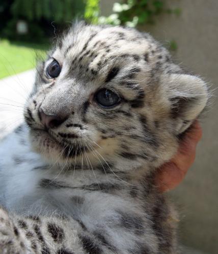 Levhartí mládě z Jihlavy