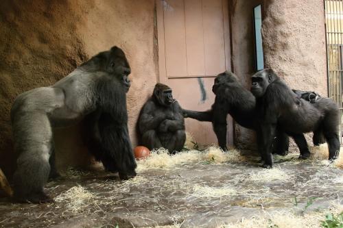 Gorily zkoumají Bikiru