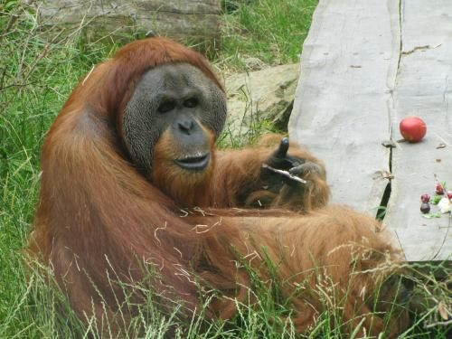 Orangutan Kama
