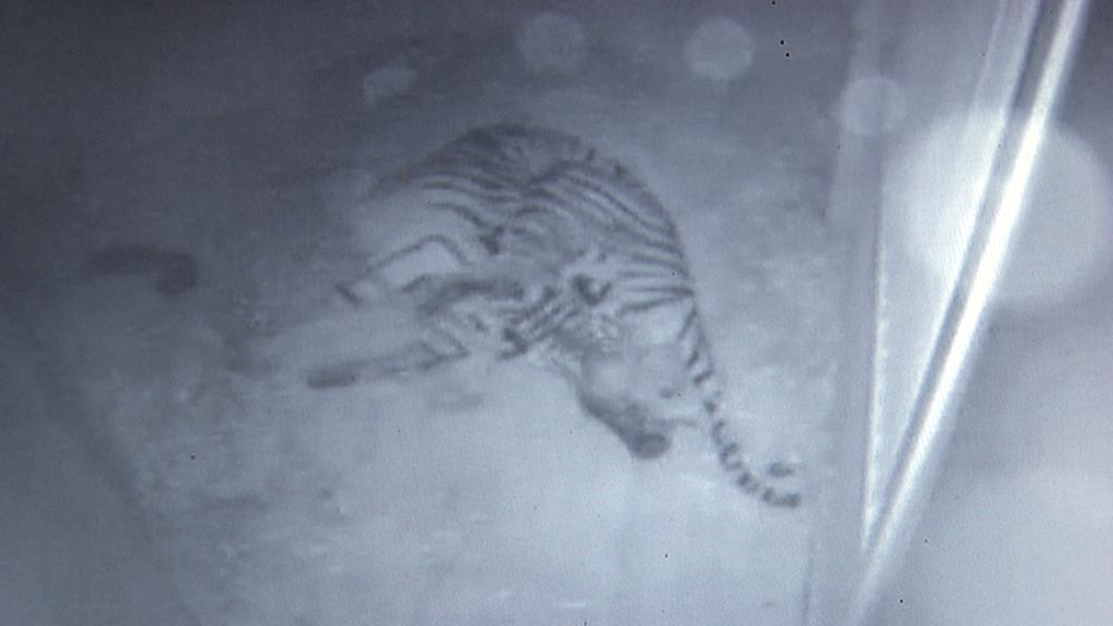 Pražská zoo má dvě mláďata tygra sumaterského