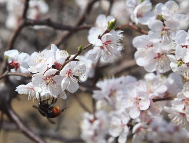 Kvetoucí ovocný strom