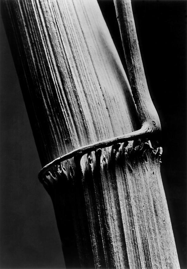 Andreas Feininger / Stéblo rákosu (1934)
