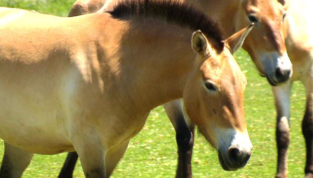 Koně Převalského