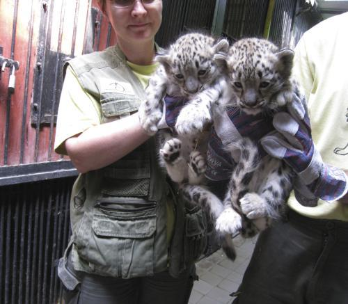 Levhartí dvojčata z liberecké zoo