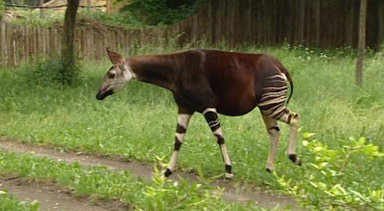 Žirafa okapi