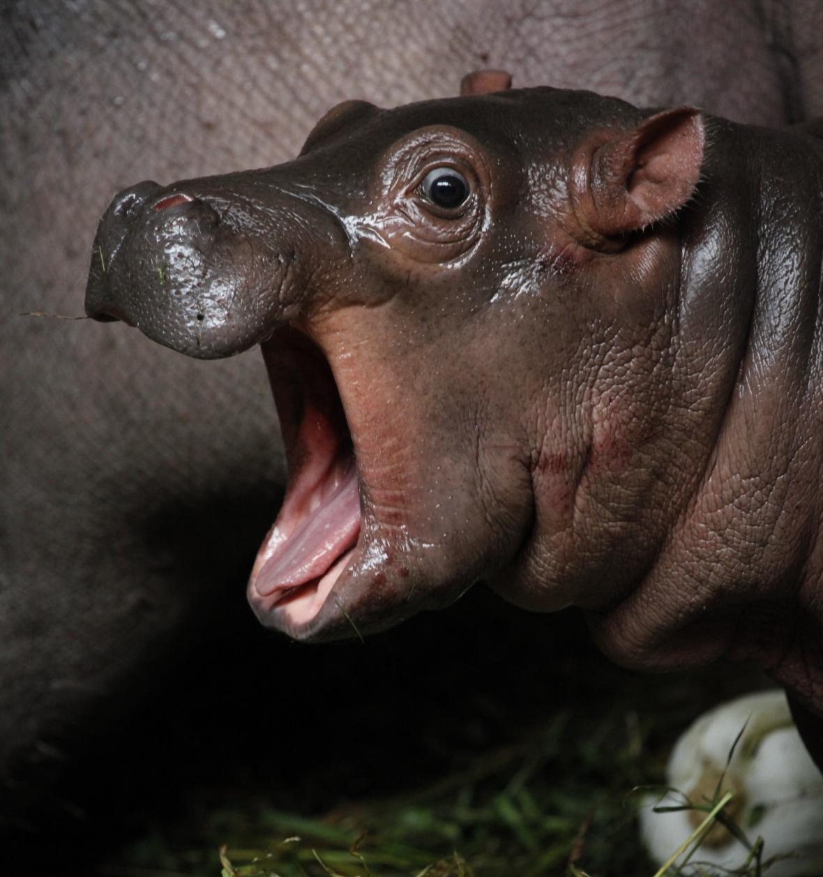 Hroší mládě z pražské zoo