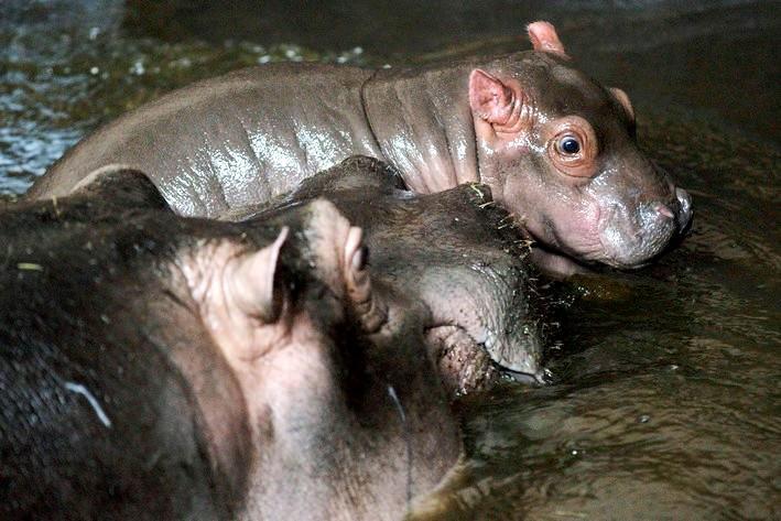 V pražské zoo se narodilo mládě hrocha obojživelného
