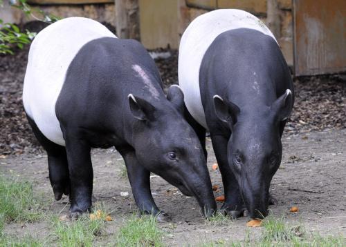 Pár vzácných tapírů čabrakových