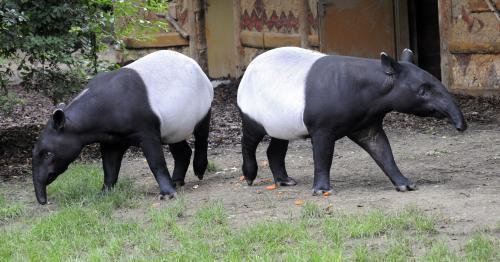 Pražská zoo získala vzácné tapíry čabrakové