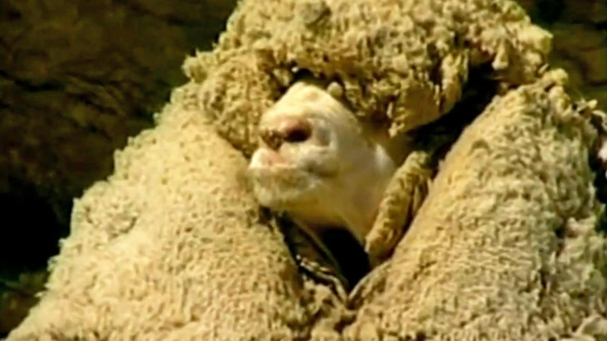 Ovce Shrek
